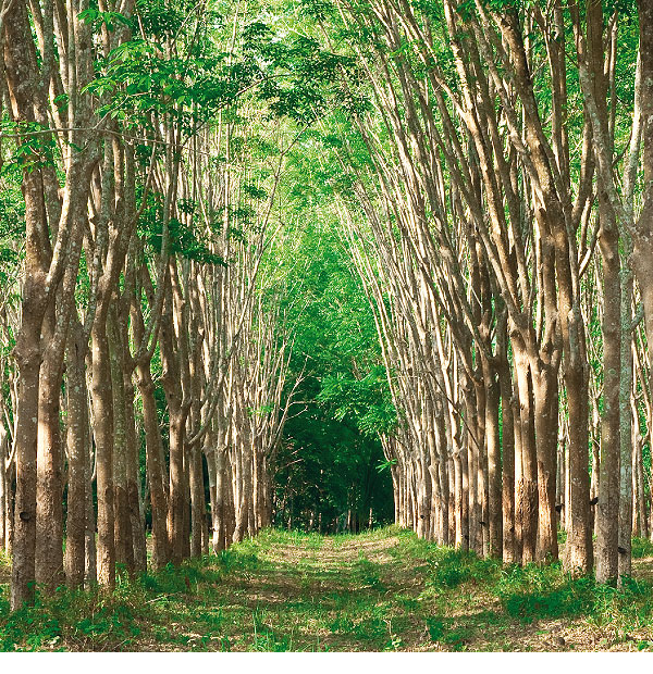 Forest of rubber trees.